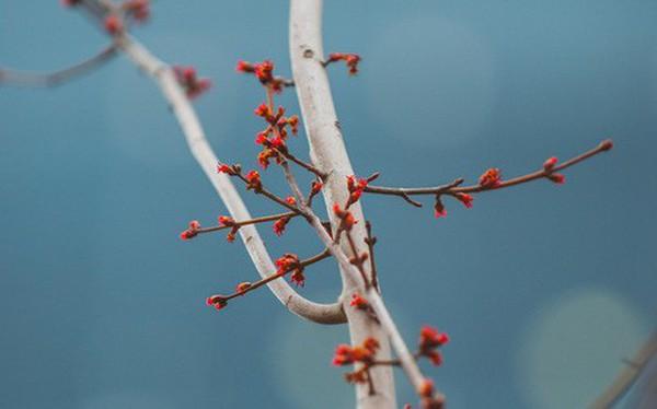 """Hà Nội: Hàng cây phong lá đỏ từng được ví như những """"cành củi khô"""" bắt đầu nảy lộc đúng dịp Tết"""