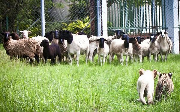Không phải cứ sư tử lãnh đạo là đàn cừu sẽ trở nên dũng mãnh, khoảng cách về năng lực đôi khi lại là rào cản cho cả tập thể