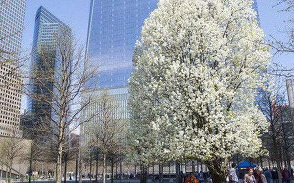 """Cây lê """"báu vật"""" của nước Mỹ: câu chuyện cổ tích thời hiện đại sau thảm họa 11/9"""