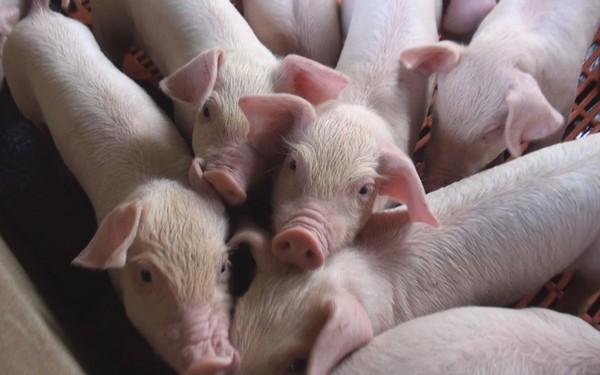 Bài học xuất khẩu quan trọng của doanh nghiệp đầu tiên xuất thịt lợn Việt Nam theo đường chính ngạch