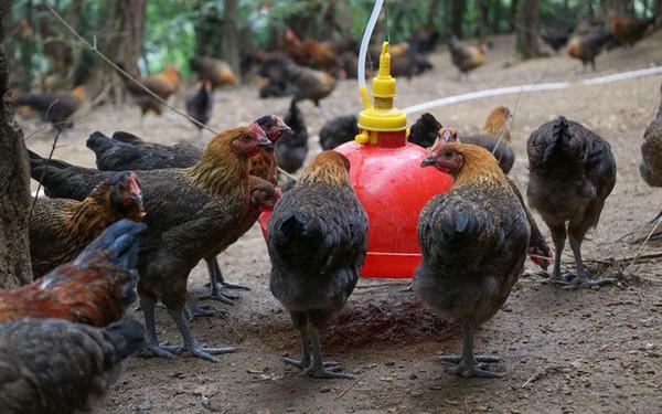 Trung Quốc: Nhiều trang trại cho gà đeo smartwear, theo dõi vòng đời bằng blockchain, giá bán tới 800.000 đồng/con