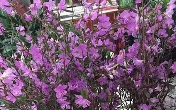 """Xuất hiện loài hoa mới """"đỗ quyên ngủ đông"""" khiến chợ hoa Tết """"lên cơn sốt"""""""