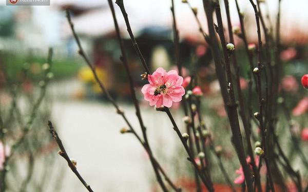 """Người dân làng đào Nhật Tân: """"Từ giờ đến Tết mà rét thế này thì đào không nở hoa kịp mất!"""""""