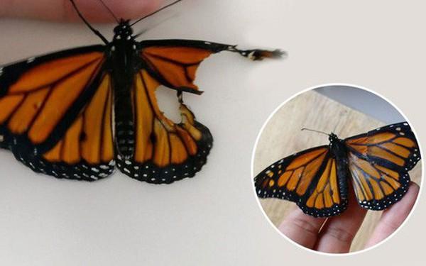 Chú bướm sắp chết vì rách cánh, chỉ với vật dụng có sẵn, người phụ nữ đã làm nên ca phẫu thuật kỳ diệu