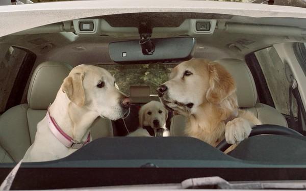 """Hãng xe Subaru tung quảng cáo """"chó lái xe"""" không thể đáng yêu hơn!"""