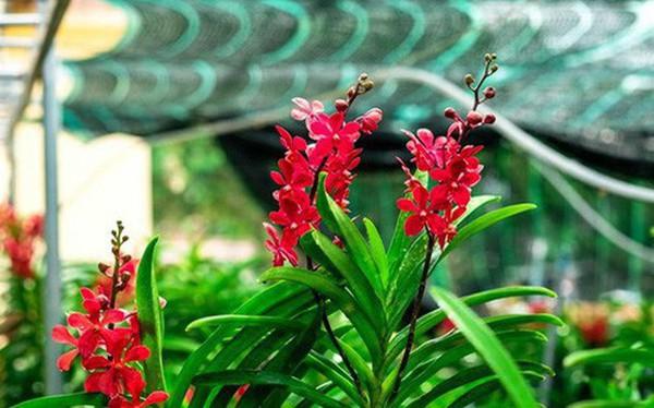 Ngắm vườn lan mokara lãi 2 tỉ đồng/năm của nam thanh niên Đà Nẵng