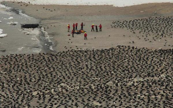 Lượng phân khổng lồ có thể thấy từ vũ trụ làm lộ ra đàn chim cánh cụt 1,5 triệu con gần Nam Cực