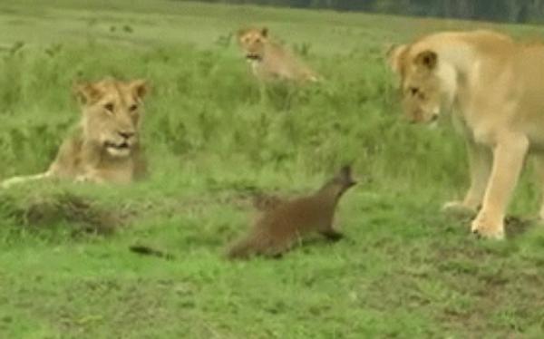 """Video: Cầy Mangut """"chán sống"""", cả gan lao vào cà khịa bầy sư tử"""