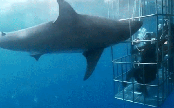 Bị kẹt đầu khi lao vào lồng bảo vệ thợ lặn, cá mập trắng vùng vẫy thoát ra rồi mất mạng đau đớn dưới đại dương sâu thẳm