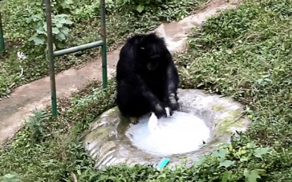 Không cần ai dạy, tinh tinh vẫn tỉ mẩn dùng xà phòng giặt quần áo cho nhân viên vườn thú suốt nửa tiếng
