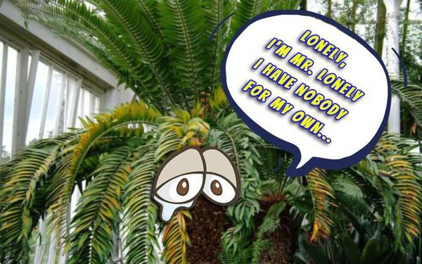 """Chuyện """"chàng"""" cây cô độc nhất thế gian đang phải đối mặt với nguy cơ tuyệt chủng nếu không tìm được """"bạn gái"""""""