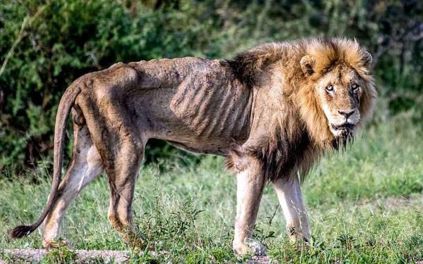Cái kết của một vị vua: Bi kịch phũ phàng khi sư tử đứng đầu về già và bị đuổi khỏi đàn