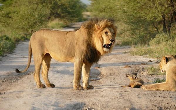 Thấy sư tử rên rỉ, các con vật đều đến xem, chỉ có cáo đứng ngoài: Cảnh tỉnh nhiều người