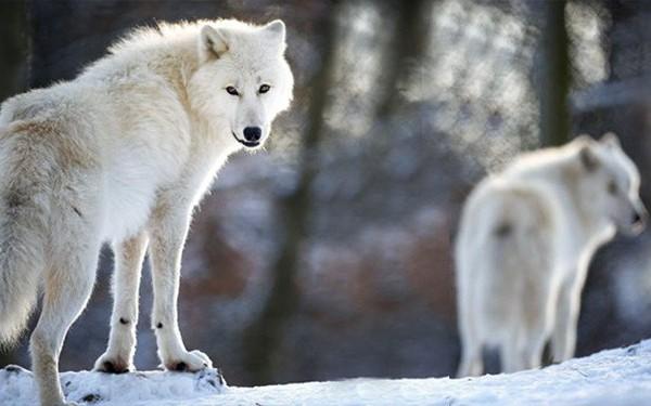 Làm thế nào để khiến chó sói chăm chỉ?: Bải học về phần thưởng xứng đáng cho nhân viên