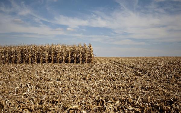 """Mỹ đang đau đầu với mặt hàng nông sản được trồng nhiều nhất thế giới: Từ điều thần kỳ thành """"của nợ"""""""