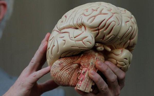 Các nhà khoa học Mỹ vừa nuôi được một mô hình não nhân tạo giống thật nhất từ trước đến nay