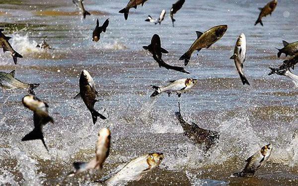 """Hùng Vương, Vĩnh Hoàn, Navico đã khởi động, doanh nghiệp cá tra sẽ """"được mùa"""" năm 2019?"""