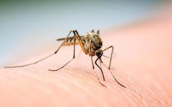 Muỗi có bị say hay không, khi hút máu những người vừa uống rượu?