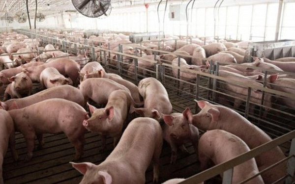Lo ngại dịch tả, lượng tiêu thụ thịt lợn giảm đến 50%