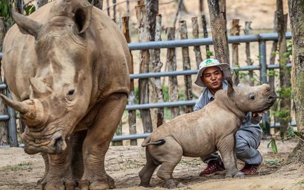 """Cận cảnh 2 """"bé"""" tê giác trắng quý hiếm vừa được sinh ra ở Việt Nam trong thập kỷ qua"""