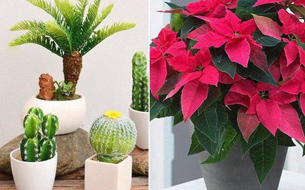 Những loại cây không nên trồng trong nhà để tránh tiêu tán tài lộc, rước bệnh cho gia đình
