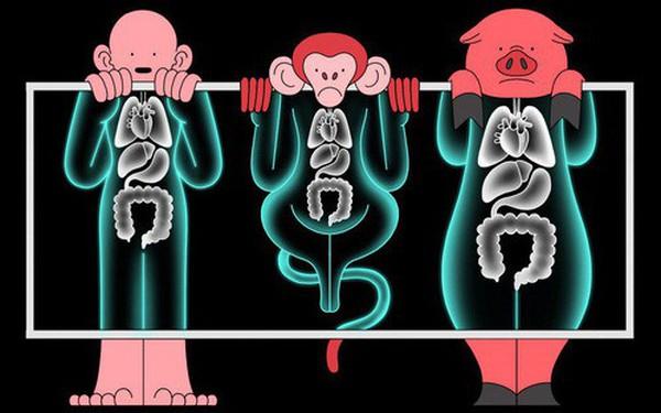 Các nhà khoa học đang thử nghiệm cấy nội tạng lợn biến đổi gen sang khỉ, sau đó sẽ đến lượt con người