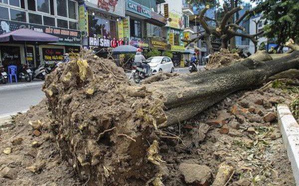 Hà Nội: Di dời hàng trăm cây hoa sữa về bãi rác Nam Sơn lớn nhất thành phố