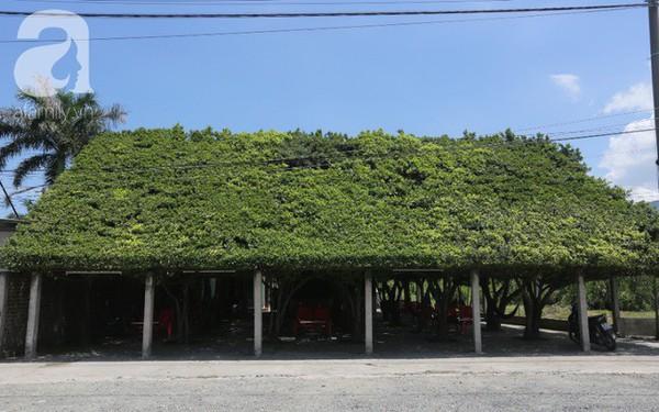 """Ghé quán cà phê cây si """"vạn người mê"""" của cô Tám miền Tây: Một năm mướn tỉa lá 3 lần, tiền lời chẳng đủ trả công!"""