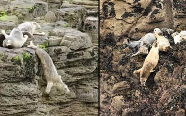 Hình ảnh thay cho vạn lời nói: Hải cẩu đồng loạt ném mình xuống vách đá vì bị du khách dồn ép đến đường cùng