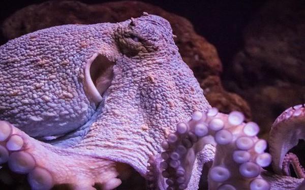 Bạch tuộc chính thức được công nhận là sinh vật quái dị nhất hành tinh và đây là lý do vì sao