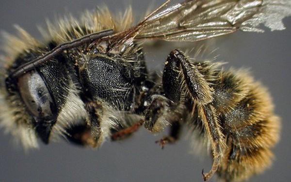 Chính phủ Anh kết án tử hình 1 con ong, nhưng chưa kịp bắt giữ thì đối tượng đã bỏ trốn theo đường chim bay