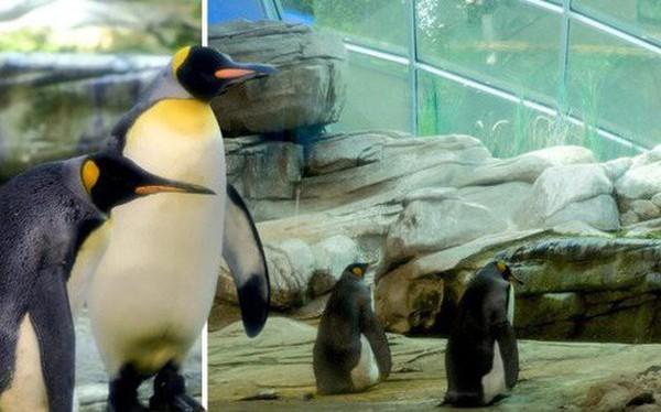 Cặp chim cánh cụt đồng tính được nhận nuôi một quả trứng sau một thời gian dài phải... ấp đá cuội