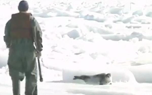 Những hình ảnh hải cẩu bị thảm sát bằng gậy gỗ và góc khuất ít người biết về công việc này tại Canada