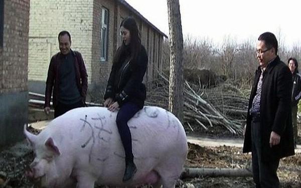 Thiếu thịt, Trung Quốc quyết định nhân giống lợn khổng lồ, to bằng gấu Bắc cực