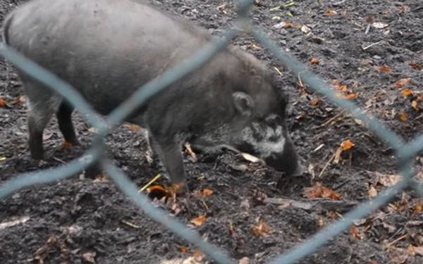 Lợn đã tiến hóa đến mức biết sử dụng công cụ? Video này là bằng chứng đầu tiên cho điều đó