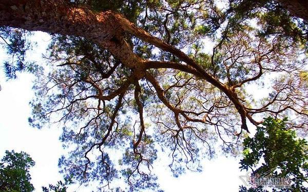 Hàng cây xích tùng 700 tuổi quý hiếm trên đỉnh thiêng Yên Tử