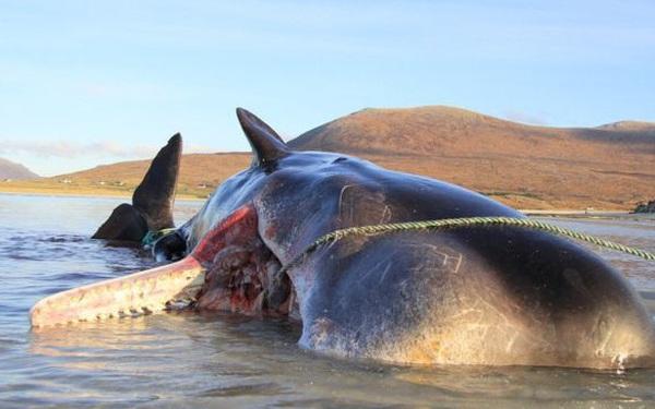 Con cá voi chết bên bờ biển Scotland với 100 kg rác thải trong bụng