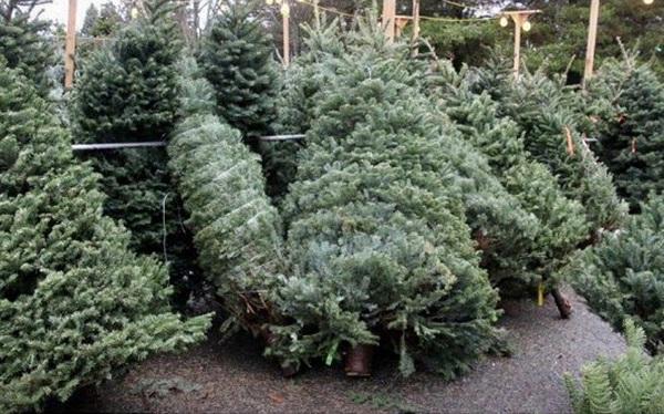 Cây thông tươi giá đến 50 triệu đồng vẫn hút khách mùa Giáng sinh