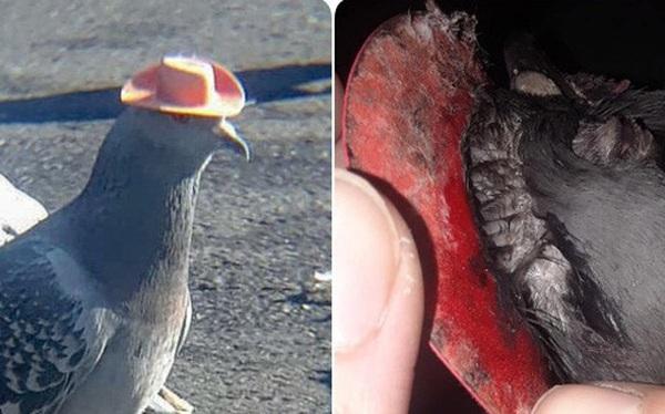 Sự thật đau lòng đằng sau những con chim bồ câu đội mũ siêu dễ thương từng gây sốt mạng xã hội: Hóa ra chẳng có gì đáng cười ở đây cả