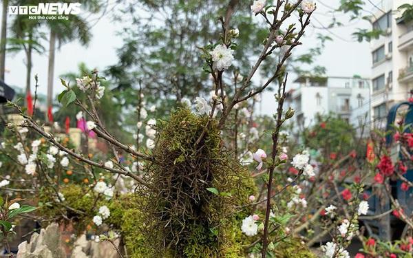 Độc lạ nhất chi mai trồng trên gỗ Pơmu quý hiếm, giá 30 triệu đồng