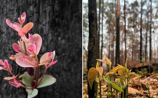 'Phượng hoàng lửa tái sinh từ đống tro tàn': Những mầm sống vươn mình tại nơi hứng chịu sự càn quét của Thảm hoạ cháy rừng