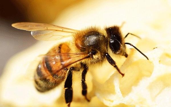 1001 thắc mắc: Ong có ngủ không, kinh khủng thế nào nếu ong tuyệt chủng?