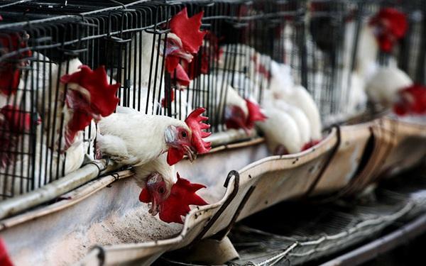 Ổ dịch cúm gia cầm H5N6 bùng phát tại Trung Quốc