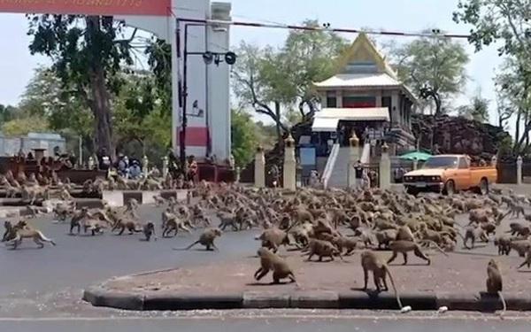 Hàng trăm con khỉ đói làm loạn cho thấy sự tàn phá của virus corona với kinh tế Thái Lan