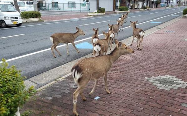Con người cách ly trong nhà trốn dịch, động vật hoang dã bỗng 'chiếm dụng' đường phố