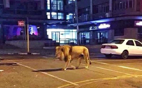 """Xôn xao tin đồn Nga thả 800 con hổ và sư tử để """"cai quản"""" người dân phải ở trong nhà tránh dịch Covid-19 và sự thật là gì?"""