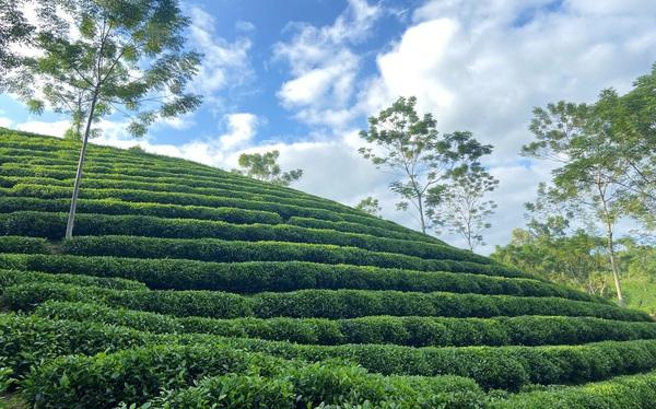 Thái Ninh Trà – thương hiệu trà Thái Nguyên truyền thống