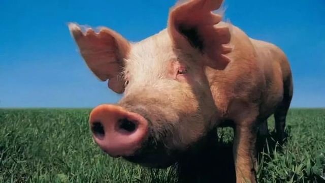 Ý nghĩa thực sự của việc nuôi lợn đối với khoa học - Ảnh 2.