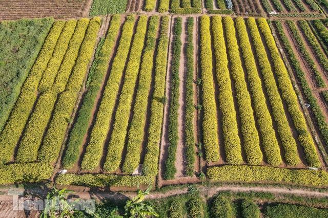 Ngất ngây cánh đồng Cúc tiến vua vàng rực gần Hà Nội - Ảnh 1.