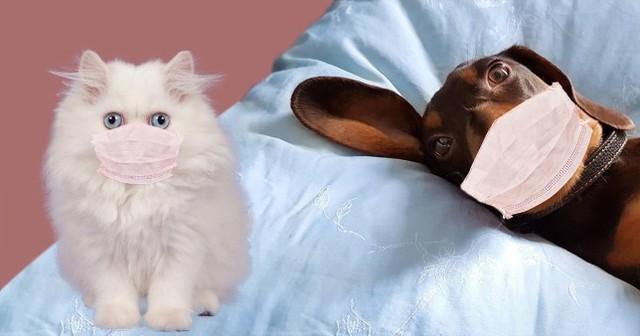 Nghiên cứu: SARS-CoV-2 có thể lây nhiễm trên mèo, các vật nuôi khác như chó, lợn, gà và vịt không bị nhiễm bệnh - Ảnh 2.